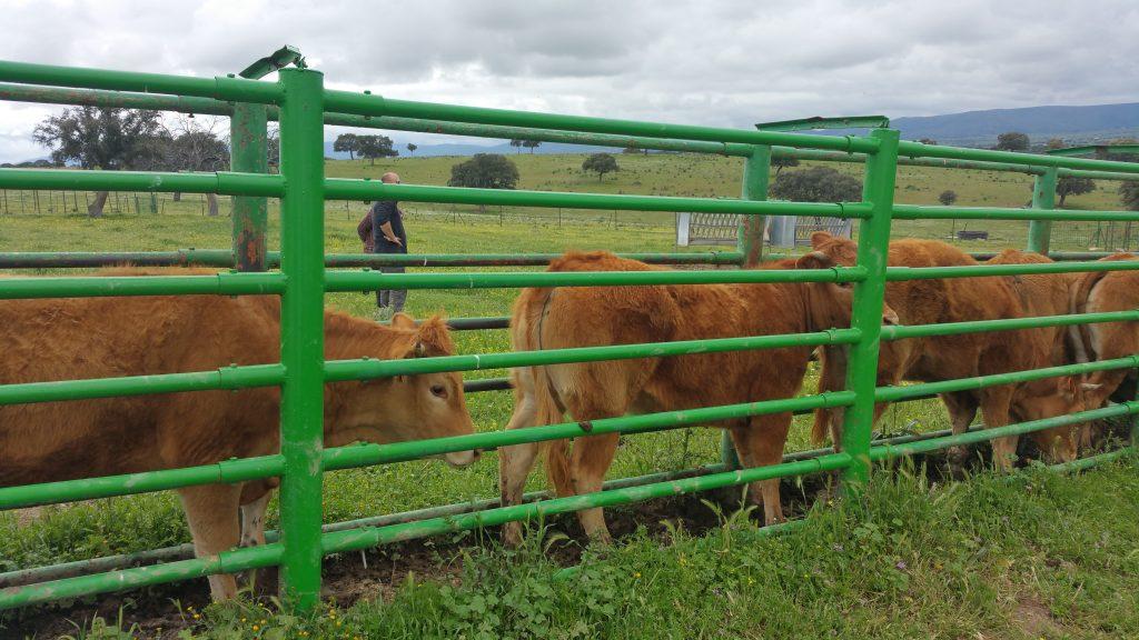 Ganado bovino limusin